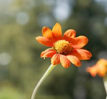 Fleur De Gerbéra (Gerbera) Aux Pétales Simples Qui Ressemble à Une Marguerite Géante Orange Foncé Avec Un Disque Central Jaune Au Sommet De Hautes Tiges