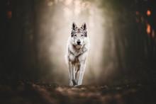 Wolfdog Portrait In Natural En...