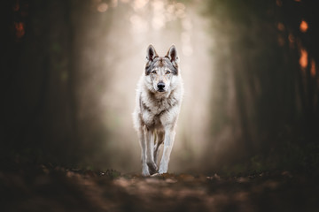Fototapeta Zwierzęta Wolfdog portrait in natural environment in a wood