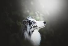 Shetland Shepherd In Natural Environment With Beautifil Light, Bokeh