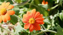 (Gerbera) Grande Fleur De Gerbéra Rouge Orangé