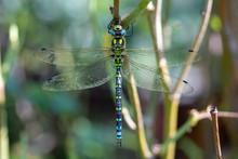 Southern Hawker, Or Aeshna Cyanea Dragonfly