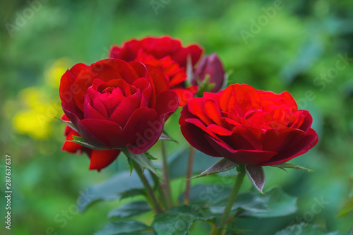 Beautiful blooming red roses in the garden. Bright daylight. Closeup of roses. Soft selective focus.