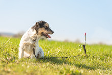 Jack Russell Terrier Dog Is Waiting Tethered To A Earth Hook In The Meadow