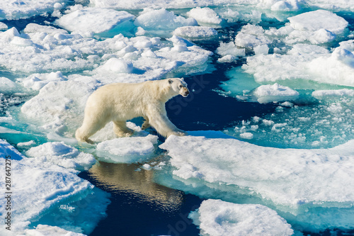 Spoed Fotobehang Ijsbeer Polar bear walking between ice floats on a large ice pack in the Arctic Circle, Barentsoya, Svalbard, Norway