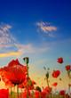Leinwandbild Motiv Poppy field, green grass and bright dawn on sky.