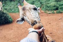 First Person Hand Feeding Gira...
