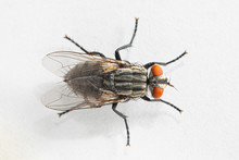 A Close Up Dorsal View Of A Small Housefly (musca Domestica) In Full Detail, Isolated Against A White Background, With Colorful Compound Eyes And Hairy Legs.