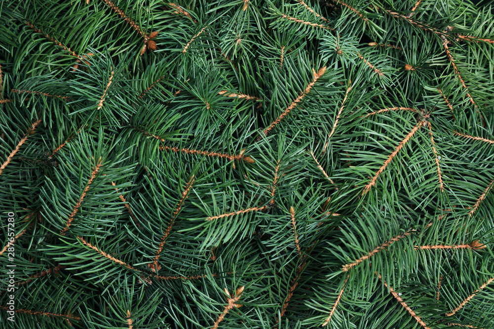 Fototapety, obrazy: Branches of Christmas tree as background, closeup