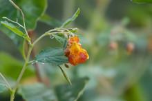 Rain On Jewelweed Flower In Summer