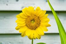 Sunflower Landscape Full Bloom...