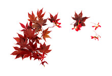 Japanese Red Autumn Maple Tree Leaves Isolated On White Background. Acer Palmatum