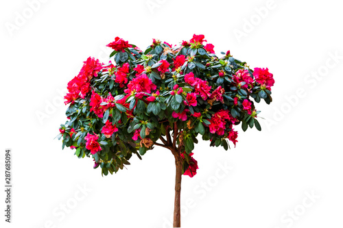 Photo sur Aluminium Arbre Beautiful pink Rhododendron flower isolated on white background.Saved with clipping path.