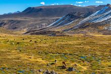 Hundreds Of Alpacas And Llamas...