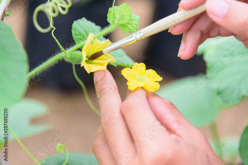 Stampa su Tela Use paintbrush for Pollinate of Melon flower in green house