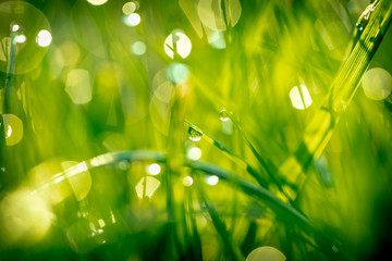 grass with dew drops closeup