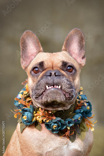 Fototapeta Funny portrait of a female brown French Bulldog dog showing smile with overbite wearing a selfmade bue floral collar in front of blurry background obraz na płótnie