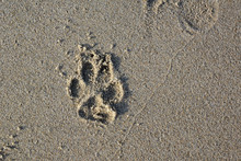Top View Of Single Dog Paw Print On Wet Sand Beach