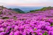 canvas print picture - 황매산철쭉의 분홍색 물결