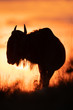 Leinwanddruck Bild - Silhouette of blue wildebeest against sunset sky