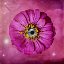 Zinnia Pink With Blue Eye, Sur...