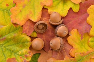 Dried acorns on autumn leaves.