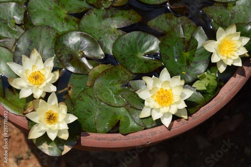 Poster de jardin Nénuphars mini water lily in the bowl (top view) / 手水鉢で育てるミニ睡蓮の花(ミニ盆栽) - 真上からのビュー