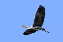 Flying Grey Heron, Isolated In Front Of Blue Sky