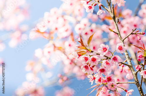 Beautiful pink Sakura flowers cherry blossom blooming at Sakura park Canvas Print