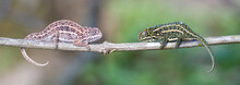 Male And Female Chameleon Resting In A Tree