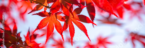 Foto  Red maple leaves panoramic background, autumn concept