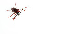 The Pine Sawyer Beetle Isolated On White Background With Copy Space