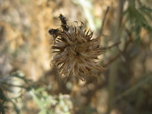 Sun Dried Brown(Cirsium) Thistle