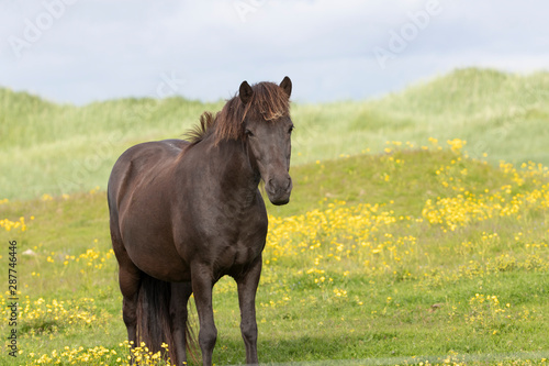 Icelandic horse in Pasture in Southern Iceland