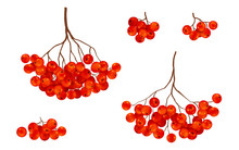Red Ripe Rowan Berries Bunches Set, Vector Realistic Illustration Isolated On White Background