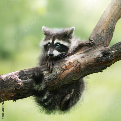 Stampa su Tela Raccoon on a branch. Outdoor