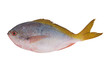 Redbelly yellowtail fusilier fish isolated on white background