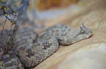 Saharan Horned Viper Or The Horned Desert Viper (Cerastes Cerastes)