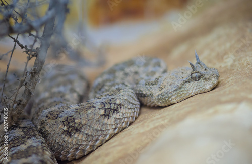 Saharan horned viper or the horned desert viper (Cerastes cerastes) Canvas Print