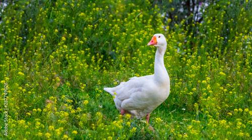 Photo closeup white goose in a grass