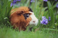 Guinea Pig In Bluebells