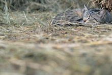 Stripped Rural Cat Sleeping On...