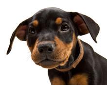 German Pinscher Puppies Portrait