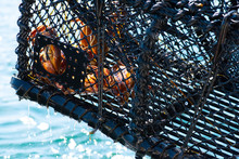 A Crab Trap Being Lifted Out O...