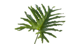 Delicious Monster, Hurricane Plant, Swiss Cheese Plant Isolated Against White Background