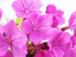 Leinwanddruck Bild - pink Turkish carnation flowers on a white background