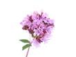 pink oregano flower on a white background
