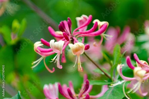 Red Lonicera japonica or Japanese Honeysuckle Fototapet