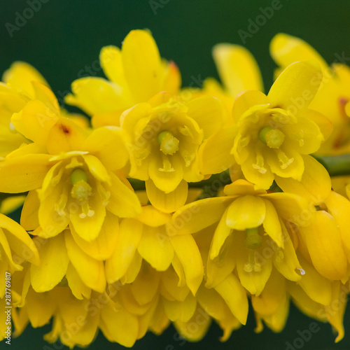 Foto op Canvas Narcis Mahonia Blossom