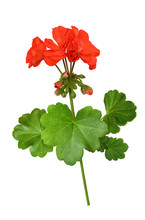 Closeup Of Red Geranium Flowers And Leaves